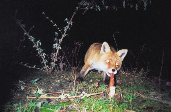 Photo by Tue Greenfort of a fox taking a sausage bait which triggers a camera to take a photo.